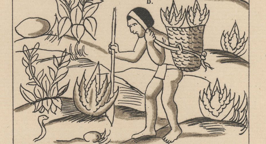 Transplanting Maguey, Mexican Codex